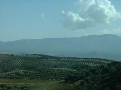 Endless hills with olive trees
